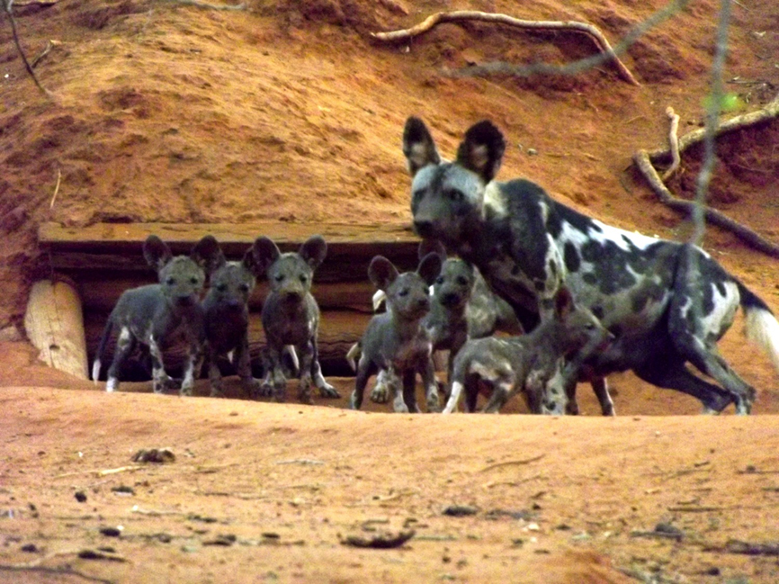 African Wild Dogs - WildlifeNOW